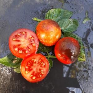 Tomaten - Samen