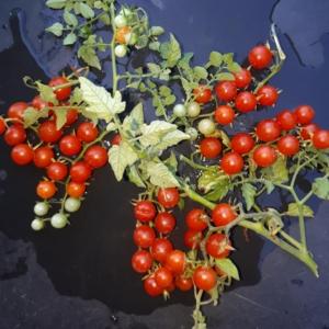 Wildtomaten - Samen