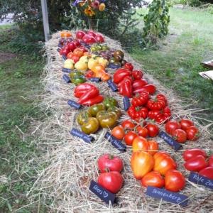 Neue Tomaten